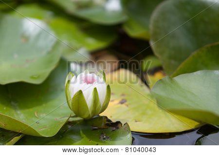 Water Flower Blooming