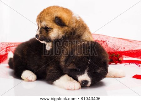 couple of Japanese Akita-inu puppies lying over white background