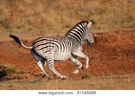 A running plains (Burchells) zebra (Equus burchelli), South Africa