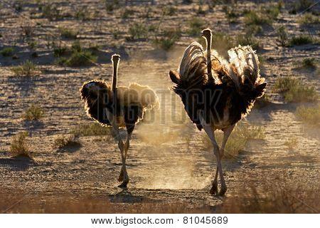 Two ostriches (Struthio camelus) walking in dust, Kalahari desert, South Africa