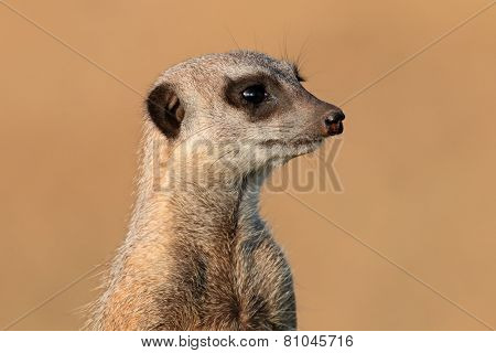 Portrait of a meerkat (Suricata suricatta) on guard, South Africa