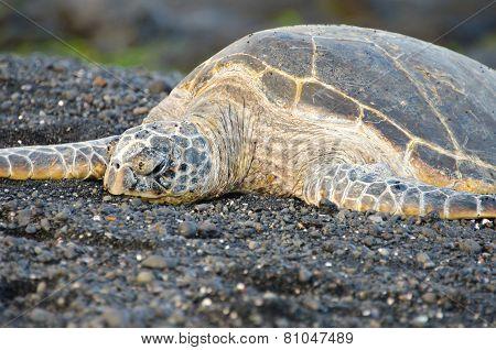 Hawaii Green Sea Turtle on Black Sand Beach