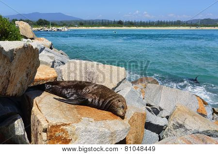 Sleepy Seal On Rocks At Narooma