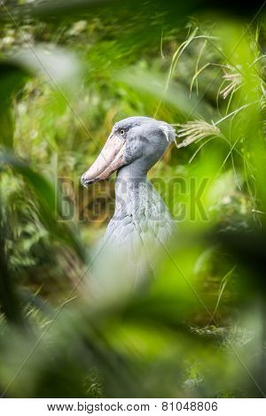 Shoebill (Balaeniceps rex) also known as whalehead or shoe-billed stork, is a very large stork-like bird. It derives its name from its massive shoe-shaped bill.