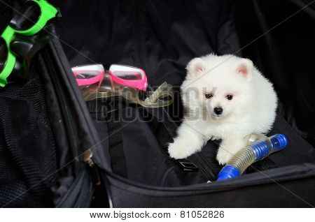 Pomeranian Puppy Lying In A Suitcase