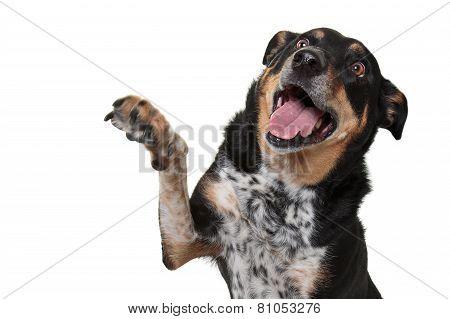 Rottweiler X Blue Heeler Hi-Fiving