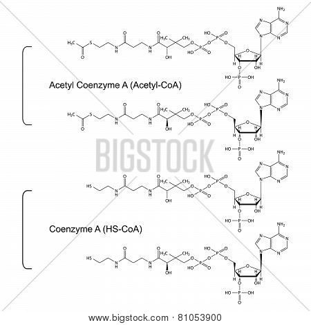 Coenzyme A and Acetyl Coenzyme A