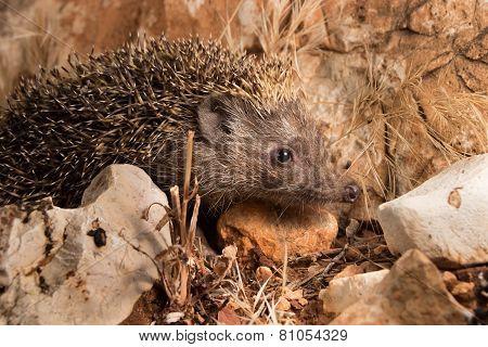 Confused Hedgehog