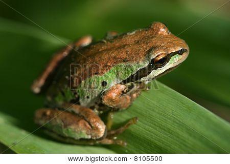 Tree Frog on Leaf