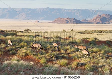 Oryx In The Wildlife, Namibia