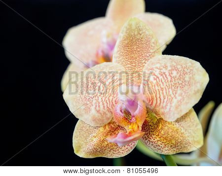 Dotted Phalaenopsis