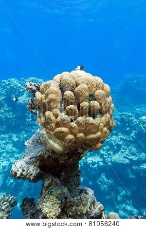 coral reef with great single honeycomb coral at the bottom of tropical sea