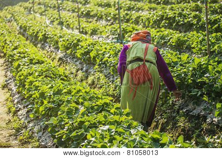 woman Harvests Strawberry