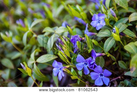 Blue Vinca Flowers And Green Vinca Leaves