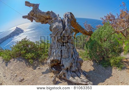 Cracked Trunk Of A Dried Relic Pine. Crimea Mountains.