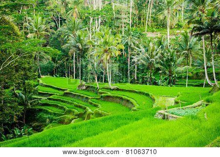 Rice Field Terraces In Bali, Indonesia