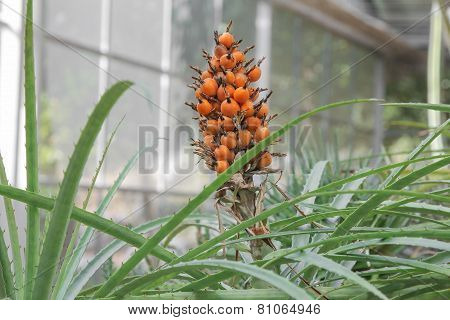 Guzmania fruit in a greenhouse