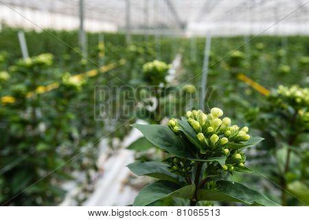 Bouvardia Flowers In A Nursery