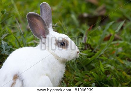 White rabbit in the green grass.