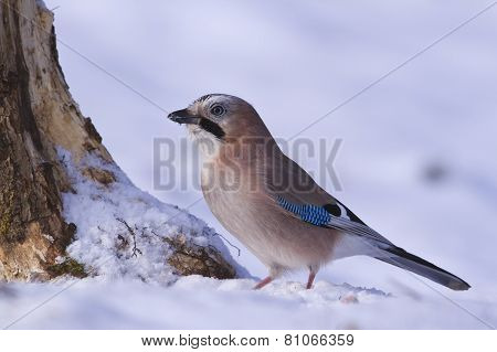 Eurasian jay (Garrulus glandarius) in the snow, Vosges, France