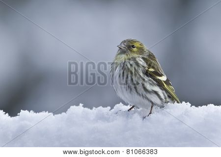 eurasian siskin in the snow, France