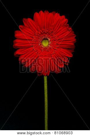 Barberton Daisy(gerbera Jamesonii)