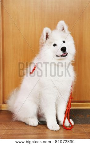 Lovable Samoyed dog with leash before walk on mat and wooden door on background