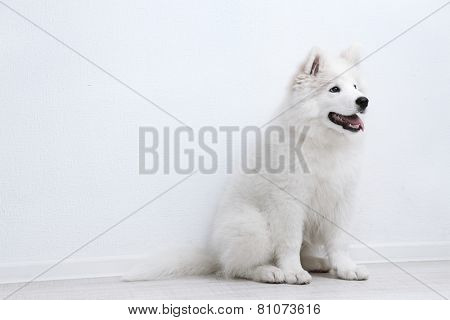 Pretty Samoyed dog on white wall background