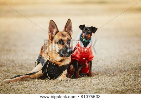 Brown German Sheepdog And Black Miniature Pinscher  Pincher Layi