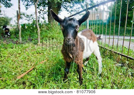 White And Brown Small Goat