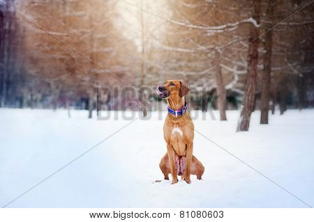Rhodesian Ridgeback Sitting On Winter Background