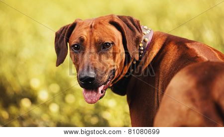 Rhodesian Ridgeback Portrait In Autumn