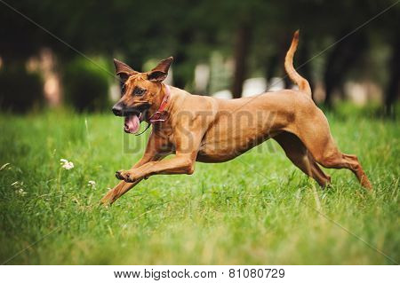 Rhodesian Ridgeback Dog Running In Summer