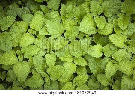 Green lemon balm herb leaves growing in herbal garden from above