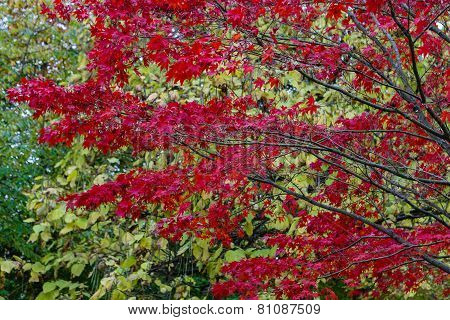 Crimson Leaves Of A Maple