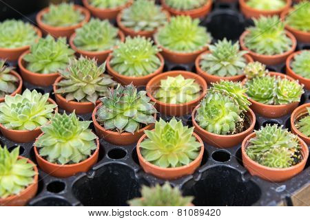Succulent Plant In A Little Jardiniere