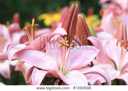 Easter Lily, Longflower Lily