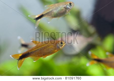 Aquarium fish. Silver Tipped Tetra