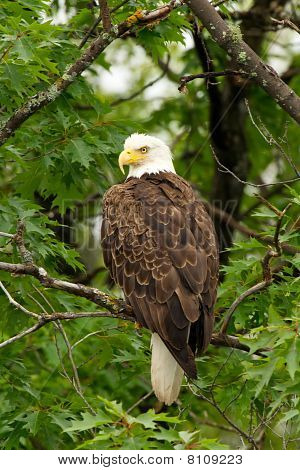 Wild Bald Eagle Perched In Tree