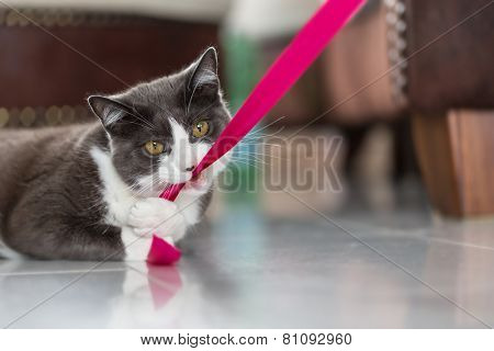 Playful domestic shorthair cat biting into a pink ribbon