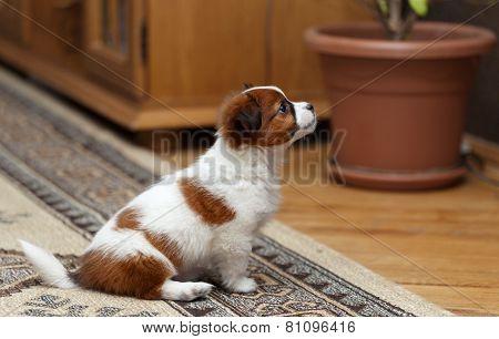 Cute Dog Resting On Carpet