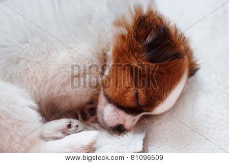 Cute Puppy Sleeping On Carpet