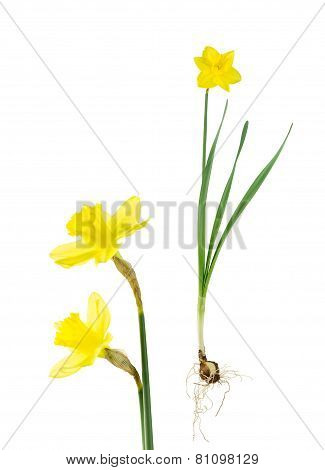 Daffodil Bulb, Leaves And Flowers