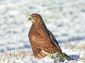 stock photo of buzzard  - Common buzzard resting on the ground in snow - JPG