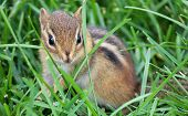 stock photo of chipmunks  - Photo of a chipmunk hiding in tall grass