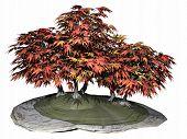 image of bonsai tree  - Japanese maple tree bonsai isoalted in white background  - JPG