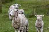 image of baby sheep  - Sheep and baby Lamb on New Zealand farm - JPG
