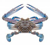 pic of blue crab  - Blue sea crab isolated on white background - JPG