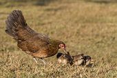 image of bantams  - Pet Bantam hen with new born chickens baby chicks foraging for feed - JPG