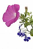 picture of lobelia  - A pink petunia blossom and a sprig of blue lobelia against a white background - JPG
